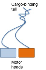 kinesin moves by an asymmetric hand over hand mechanism Kinesin: world's tiniest biped charles l asbury  kinesin moves is critical for understanding how  can also be accommodated by asymmetric hand-over-hand.